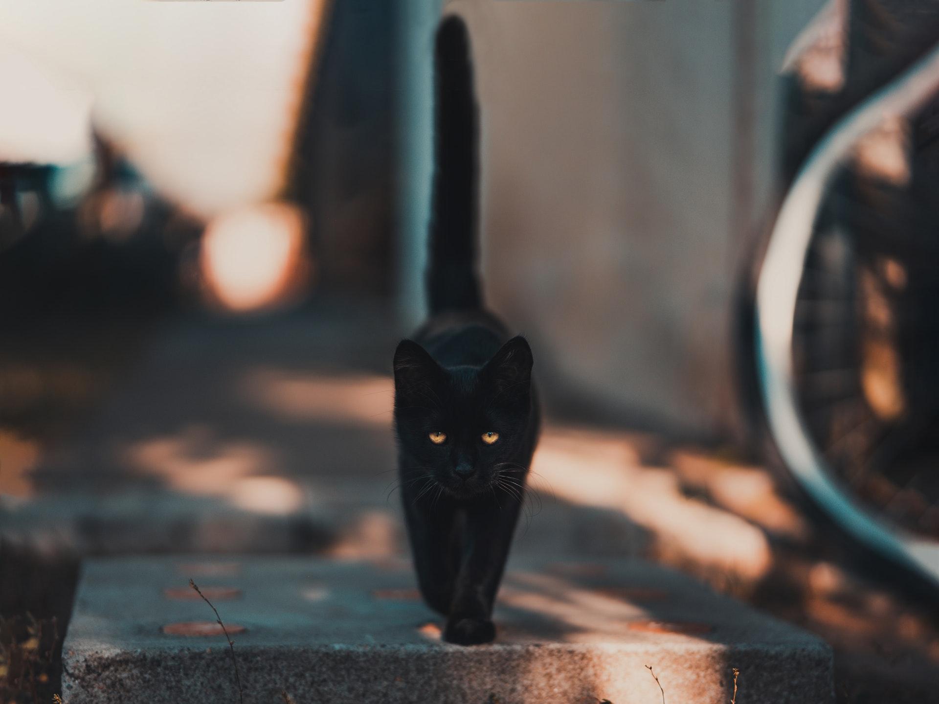 black cat walking tail straight up
