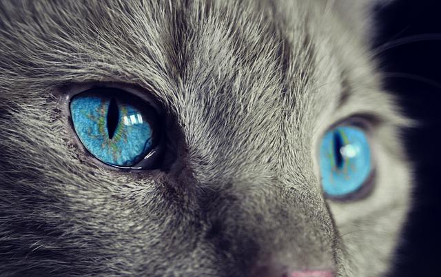 grey cat blue eyes