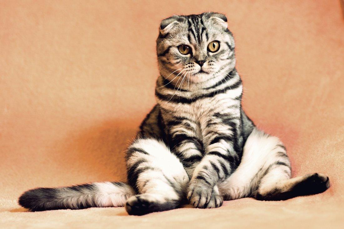 cat sititng like human pixabay