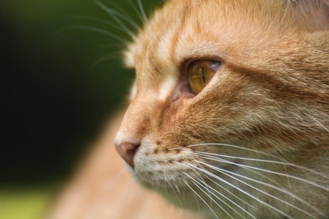 orange cat sunken eyes dehydrated cat libreshot