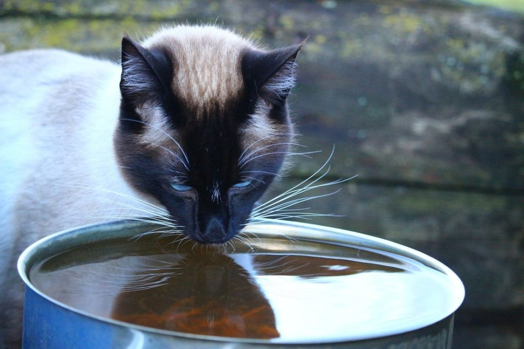 siamese cat looking angry drinking water pixabay